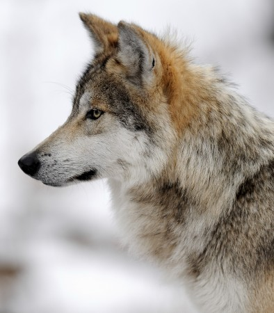 Rally: More Wolves, Less Politics